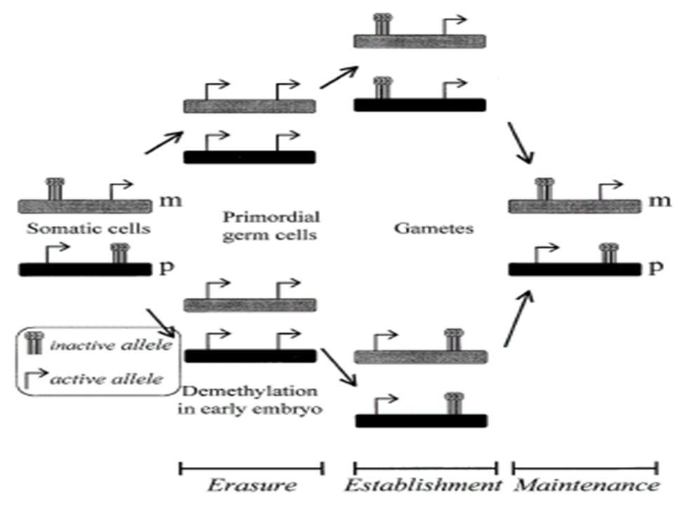 Possíveis Causas de Erros Relacionados ao Imprinting Mutação no gene –Alelo silenciado nenhum efeito óbvio –Alelo ativo incapacidade de produzir determinada proteína Mutação no Centro de Imprinting Dissomia Uniparental (UPD)