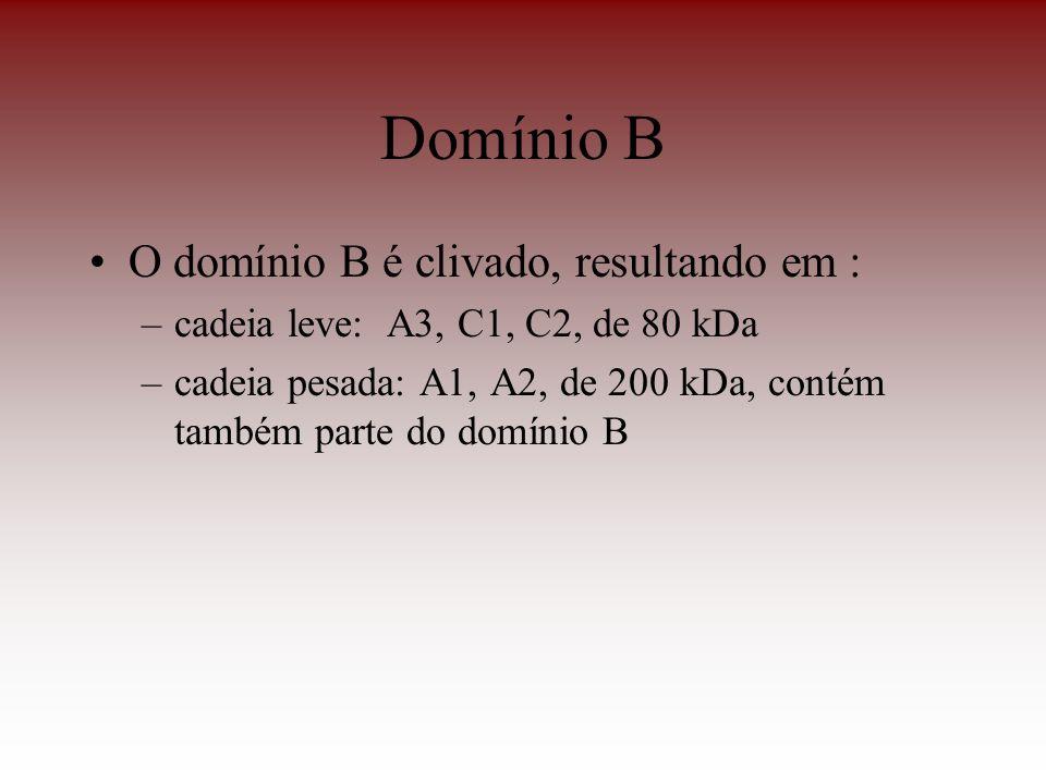 Domínio B O domínio B é clivado, resultando em : –cadeia leve: A3, C1, C2, de 80 kDa –cadeia pesada: A1, A2, de 200 kDa, contém também parte do domíni