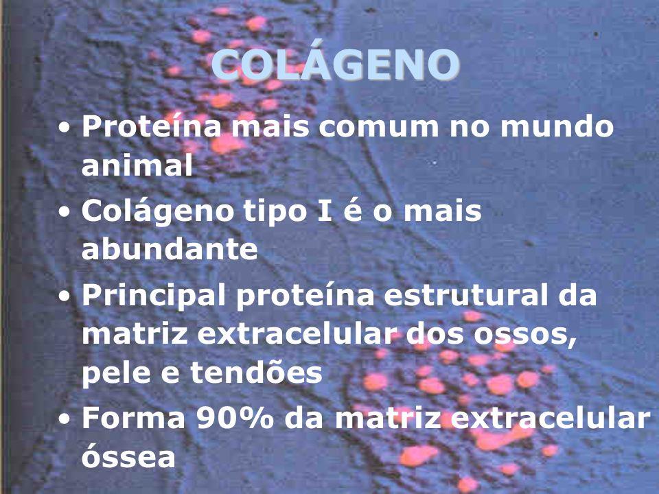 COLÁGENO Proteína mais comum no mundo animal Colágeno tipo I é o mais abundante Principal proteína estrutural da matriz extracelular dos ossos, pele e tendões Forma 90% da matriz extracelular óssea