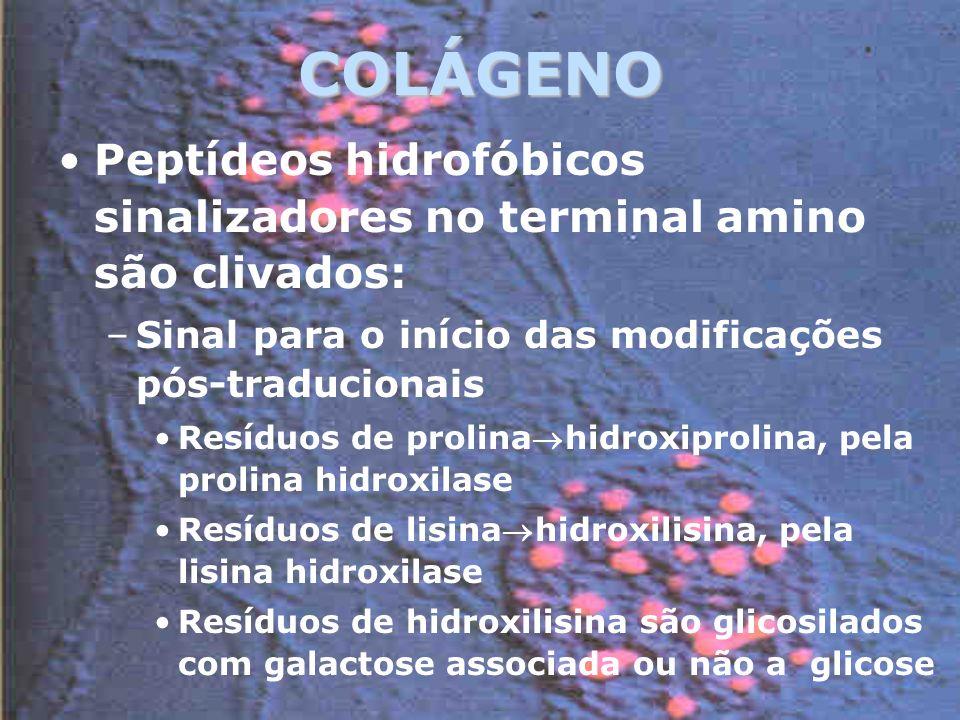COLÁGENO Peptídeos hidrofóbicos sinalizadores no terminal amino são clivados: –Sinal para o início das modificações pós-traducionais Resíduos de prolinahidroxiprolina, pela prolina hidroxilase Resíduos de lisinahidroxilisina, pela lisina hidroxilase Resíduos de hidroxilisina são glicosilados com galactose associada ou não a glicose