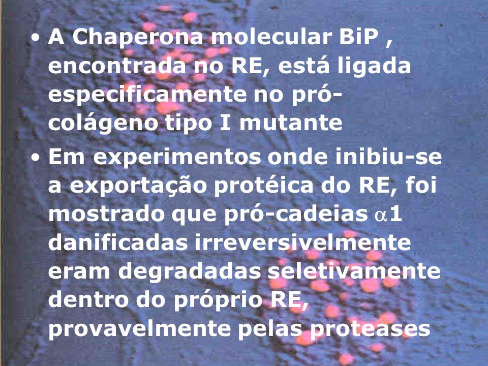 A Chaperona molecular BiP, encontrada no RE, está ligada especificamente no pró- colágeno tipo I mutante Em experimentos onde inibiu-se a exportação protéica do RE, foi mostrado que pró-cadeias 1 danificadas irreversivelmente eram degradadas seletivamente dentro do próprio RE, provavelmente pelas proteases