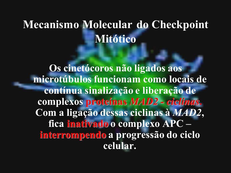 Mecanismo Molecular do Checkpoint Mitótico proteínas MAD2 - ciclinas inativado interrompendo Os cinetócoros não ligados aos microtúbulos funcionam com