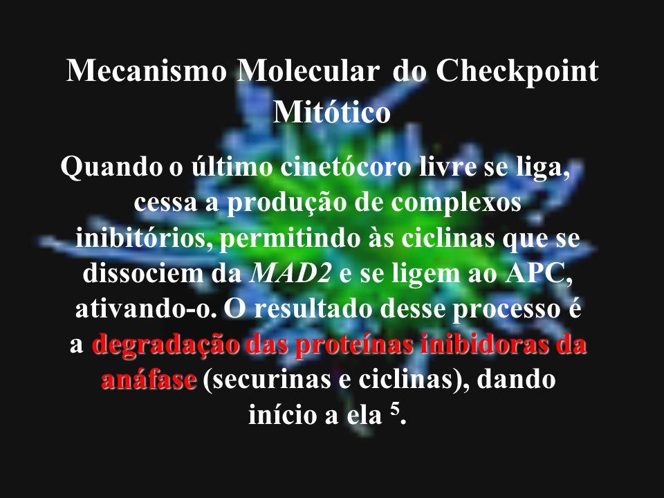 degradação das proteínas inibidoras da anáfase Quando o último cinetócoro livre se liga, cessa a produção de complexos inibitórios, permitindo às cicl
