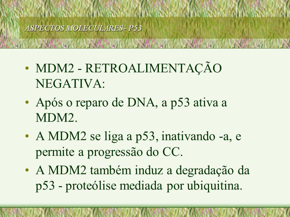 ASPECTOS MOLECULARES - P53 MDM2 - RETROALIMENTAÇÃO NEGATIVA: Após o reparo de DNA, a p53 ativa a MDM2. A MDM2 se liga a p53, inativando -a, e permite