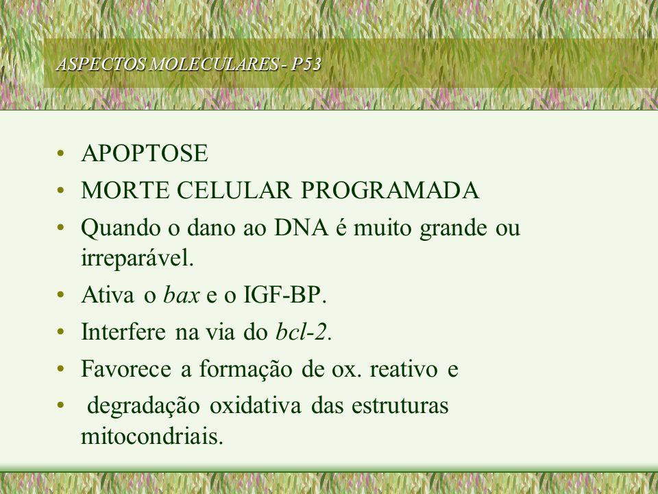 ASPECTOS MOLECULARES - P53 APOPTOSE MORTE CELULAR PROGRAMADA Quando o dano ao DNA é muito grande ou irreparável. Ativa o bax e o IGF-BP. Interfere na
