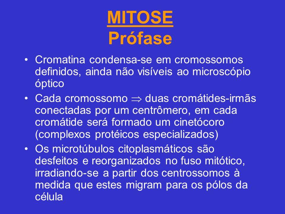 MITOSE Prófase Cromatina condensa-se em cromossomos definidos, ainda não visíveis ao microscópio óptico Cada cromossomo duas cromátides-irmãs conectadas por um centrômero, em cada cromátide será formado um cinetócoro (complexos protéicos especializados) Os microtúbulos citoplasmáticos são desfeitos e reorganizados no fuso mitótico, irradiando-se a partir dos centrossomos à medida que estes migram para os pólos da célula