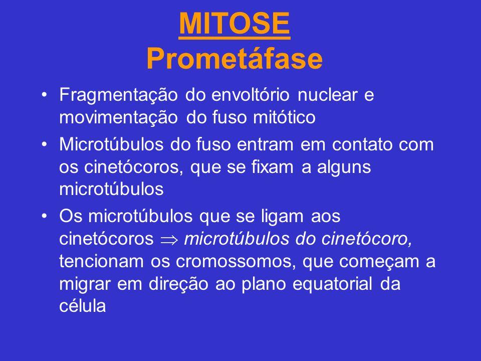 MITOSE Prometáfase Fragmentação do envoltório nuclear e movimentação do fuso mitótico Microtúbulos do fuso entram em contato com os cinetócoros, que se fixam a alguns microtúbulos Os microtúbulos que se ligam aos cinetócoros microtúbulos do cinetócoro, tencionam os cromossomos, que começam a migrar em direção ao plano equatorial da célula