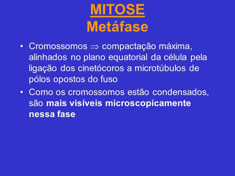 MITOSE Metáfase Cromossomos compactação máxima, alinhados no plano equatorial da célula pela ligação dos cinetócoros a microtúbulos de pólos opostos do fuso Como os cromossomos estão condensados, são mais visíveis microscopicamente nessa fase