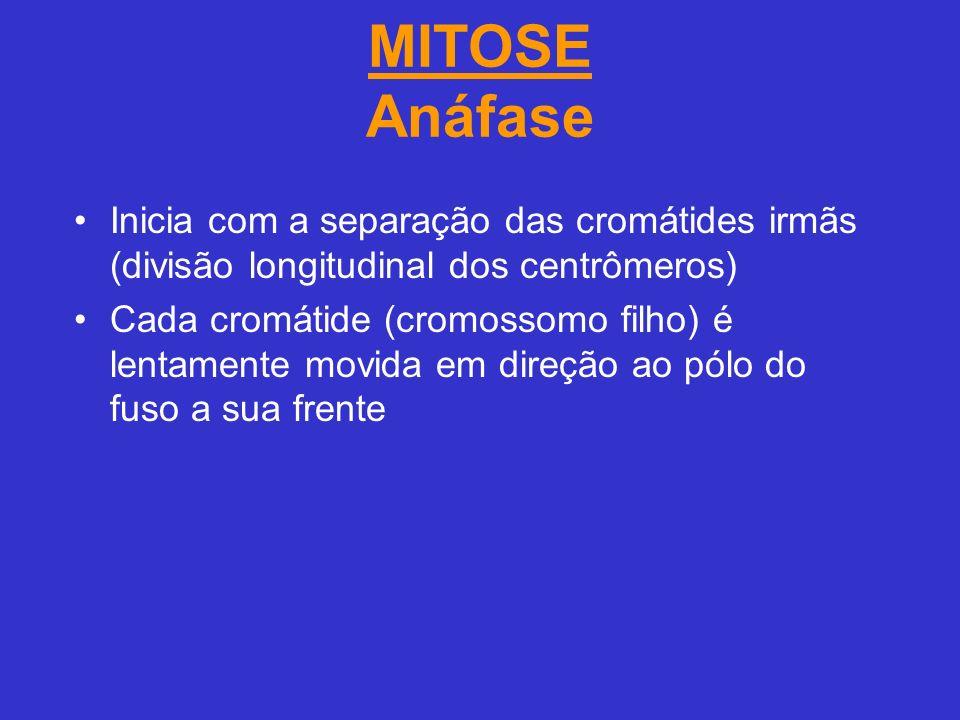 MITOSE Anáfase Inicia com a separação das cromátides irmãs (divisão longitudinal dos centrômeros) Cada cromátide (cromossomo filho) é lentamente movida em direção ao pólo do fuso a sua frente