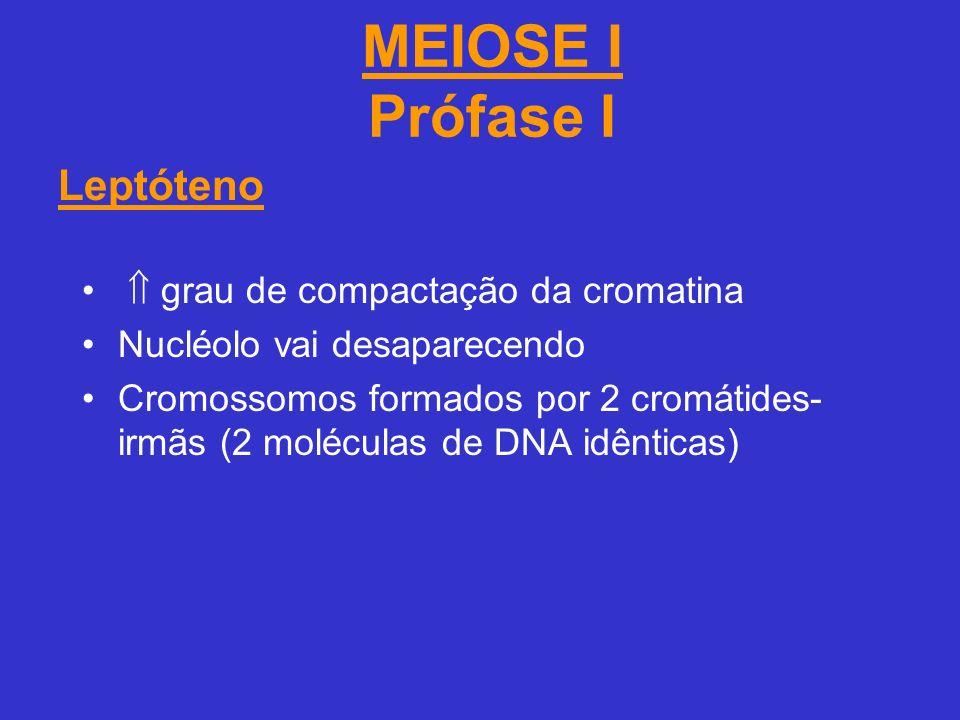 MEIOSE I Prófase I grau de compactação da cromatina Nucléolo vai desaparecendo Cromossomos formados por 2 cromátides- irmãs (2 moléculas de DNA idênticas) Leptóteno
