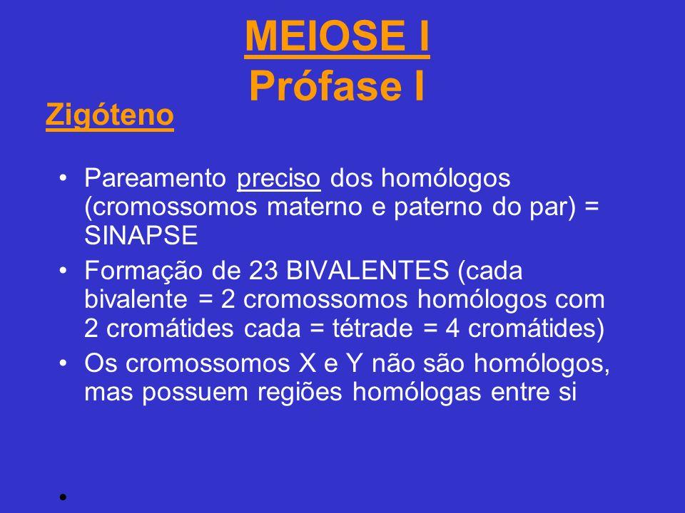 MEIOSE I Prófase I Pareamento preciso dos homólogos (cromossomos materno e paterno do par) = SINAPSE Formação de 23 BIVALENTES (cada bivalente = 2 cromossomos homólogos com 2 cromátides cada = tétrade = 4 cromátides) Os cromossomos X e Y não são homólogos, mas possuem regiões homólogas entre si Zigóteno