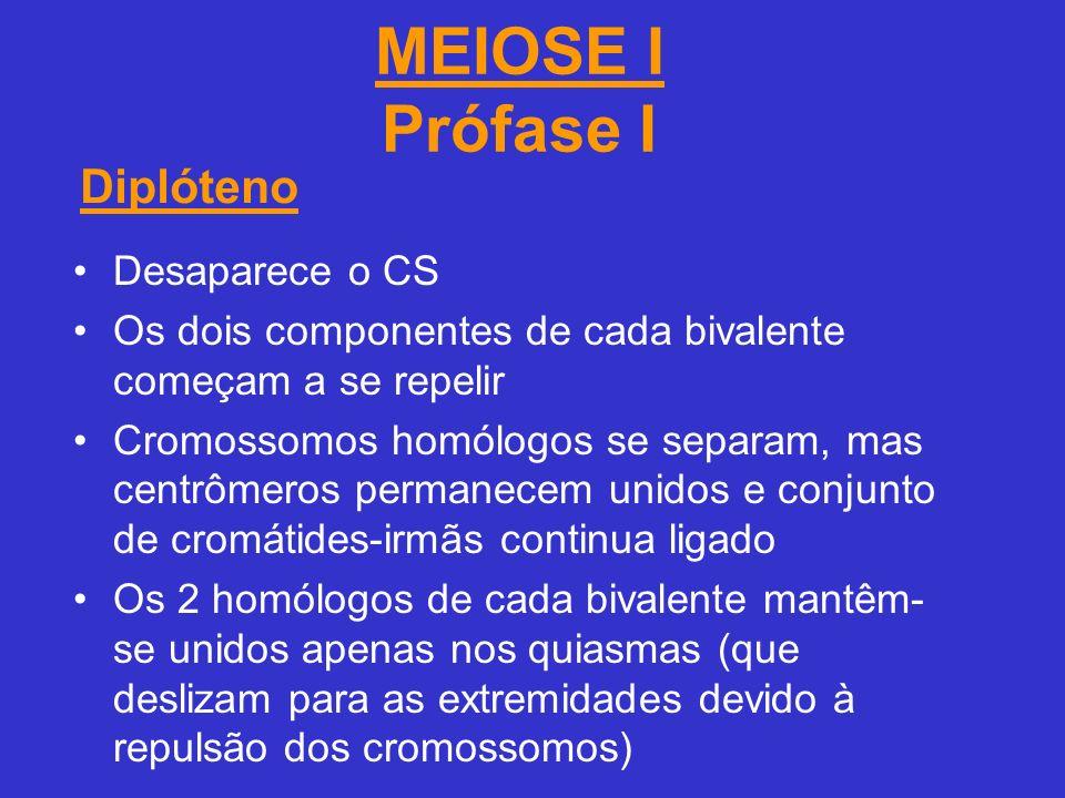MEIOSE I Prófase I Desaparece o CS Os dois componentes de cada bivalente começam a se repelir Cromossomos homólogos se separam, mas centrômeros permanecem unidos e conjunto de cromátides-irmãs continua ligado Os 2 homólogos de cada bivalente mantêm- se unidos apenas nos quiasmas (que deslizam para as extremidades devido à repulsão dos cromossomos) Diplóteno