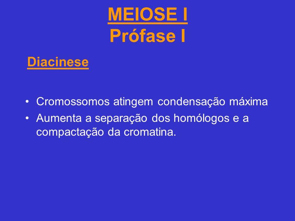 MEIOSE I Prófase I Cromossomos atingem condensação máxima Aumenta a separação dos homólogos e a compactação da cromatina.