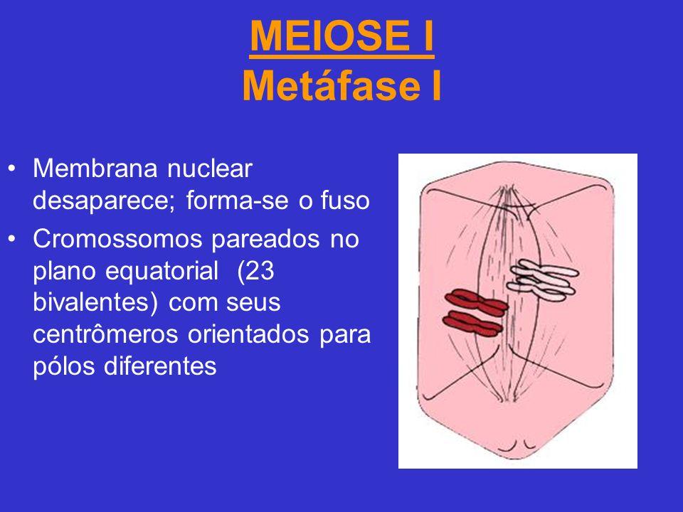 MEIOSE I Metáfase I Membrana nuclear desaparece; forma-se o fuso Cromossomos pareados no plano equatorial (23 bivalentes) com seus centrômeros orientados para pólos diferentes
