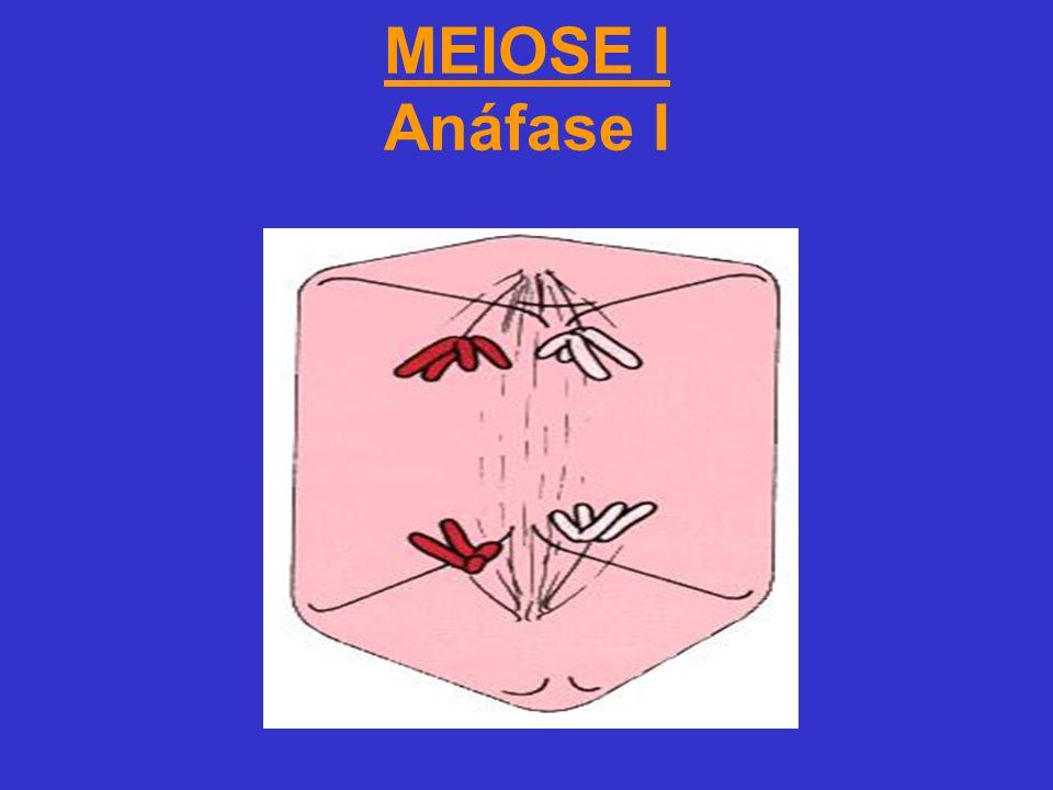 MEIOSE I Anáfase I