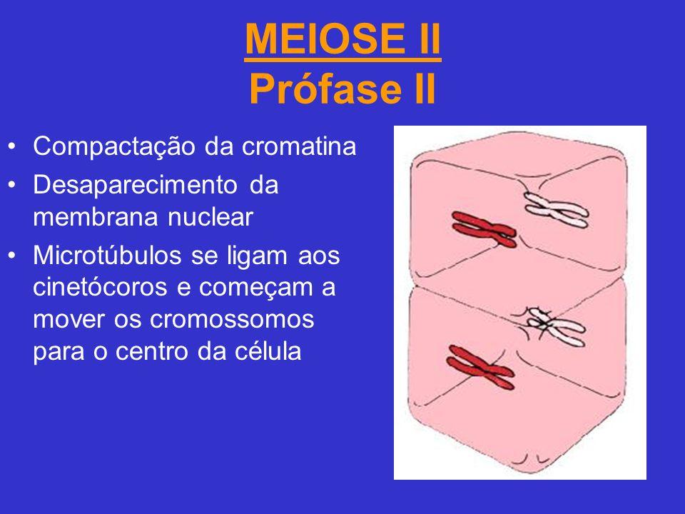 MEIOSE II Prófase II Compactação da cromatina Desaparecimento da membrana nuclear Microtúbulos se ligam aos cinetócoros e começam a mover os cromossomos para o centro da célula