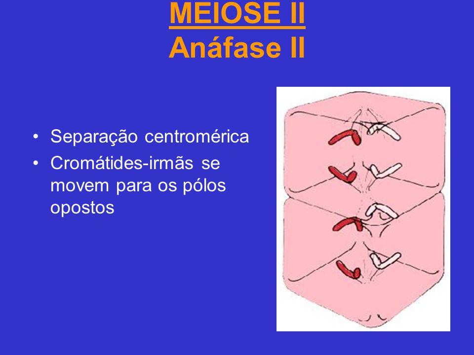 MEIOSE II Anáfase II Separação centromérica Cromátides-irmãs se movem para os pólos opostos
