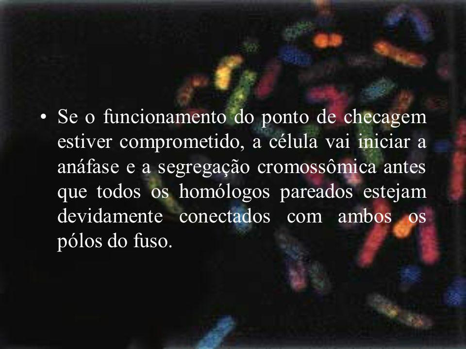 Se o funcionamento do ponto de checagem estiver comprometido, a célula vai iniciar a anáfase e a segregação cromossômica antes que todos os homólogos