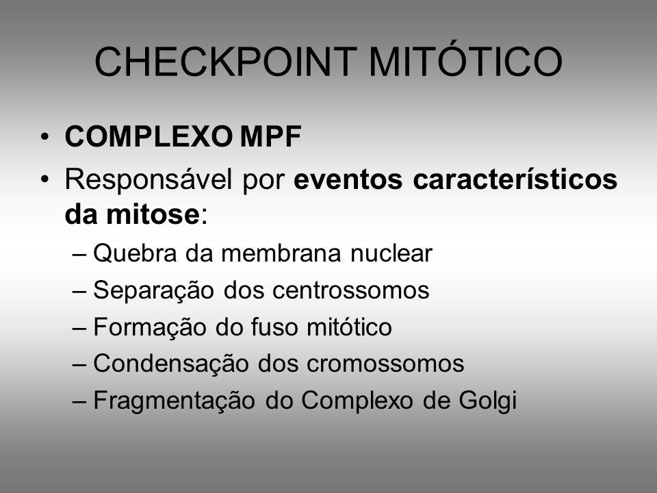 CHECKPOINT MITÓTICO COMPLEXO MPF Responsável por eventos característicos da mitose: –Quebra da membrana nuclear –Separação dos centrossomos –Formação