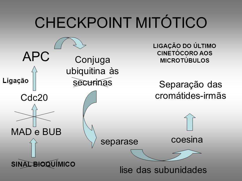CHECKPOINT MITÓTICO APC Conjuga ubiquitina às securinas separase coesina lise das subunidades Separação das cromátides-irmãs Cdc20 Ligação SINAL BIOQU