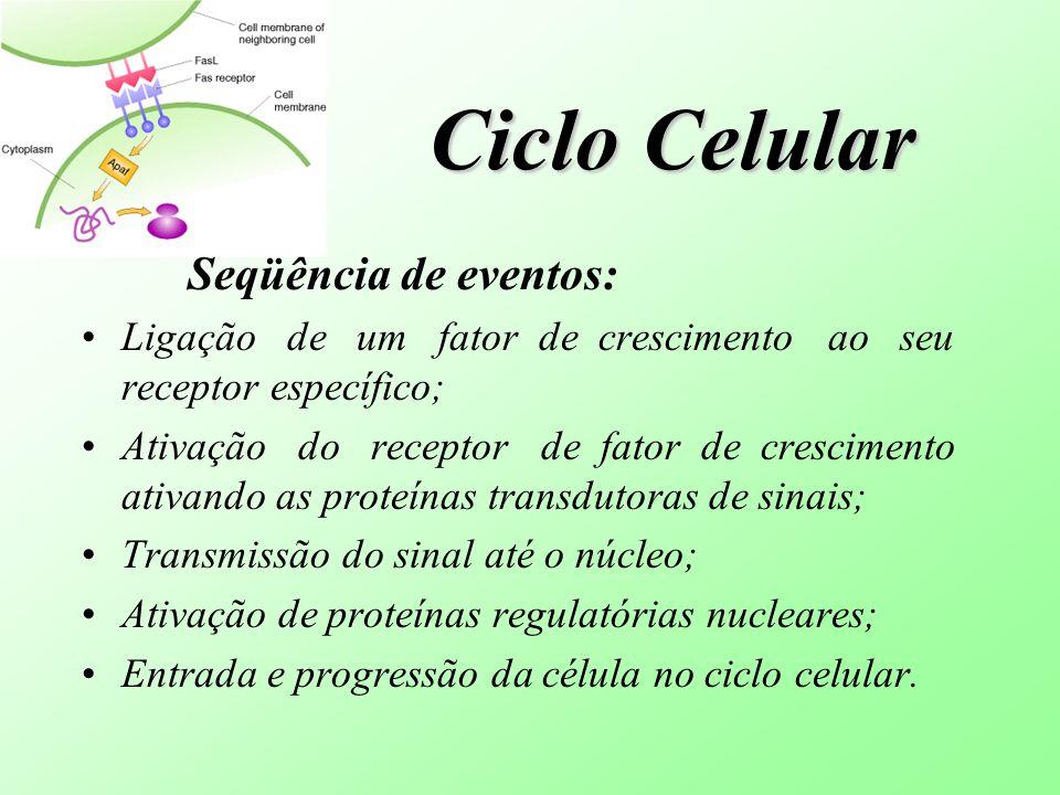 Ciclo Celular Seqüência de eventos: Ligação de um fator de crescimento ao seu receptor específico; Ativação do receptor de fator de crescimento ativan