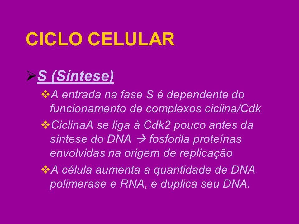 S (Síntese) A entrada na fase S é dependente do funcionamento de complexos ciclina/Cdk CiclinaA se liga à Cdk2 pouco antes da síntese do DNA fosforila