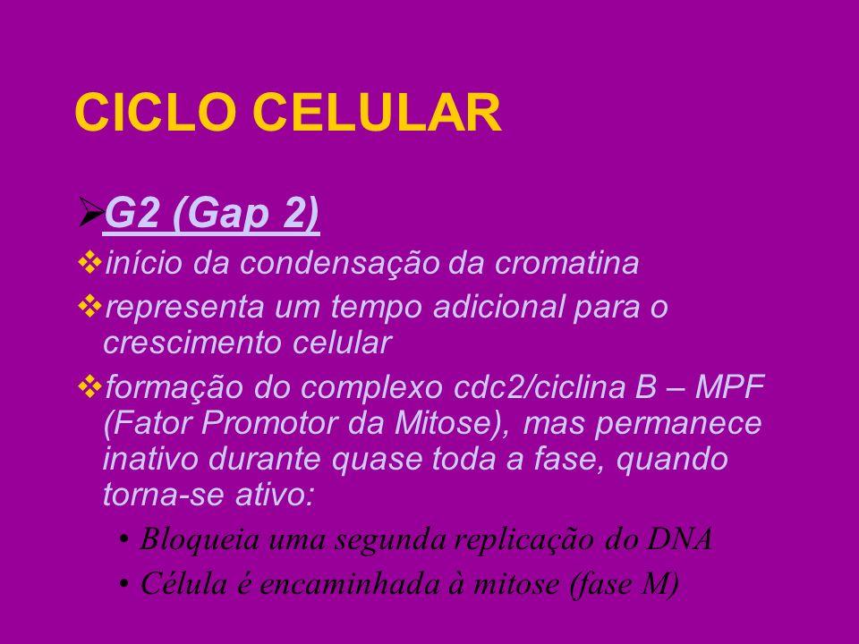 CICLO CELULAR G2 (Gap 2) início da condensação da cromatina representa um tempo adicional para o crescimento celular formação do complexo cdc2/ciclina