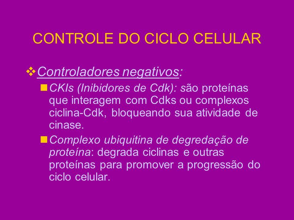 CONTROLE DO CICLO CELULAR Controladores negativos: CKIs (Inibidores de Cdk): são proteínas que interagem com Cdks ou complexos ciclina-Cdk, bloqueando