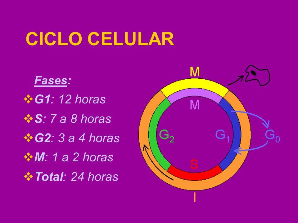CICLO CELULAR Os sinais químicos que controlam o ciclo provem de fora e de dentro da célula.