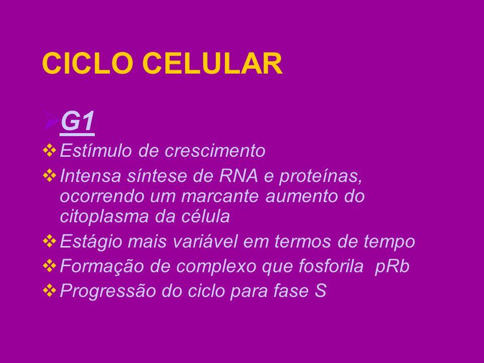 CICLO CELULAR G1 Estímulo de crescimento Intensa síntese de RNA e proteínas, ocorrendo um marcante aumento do citoplasma da célula Estágio mais variáv