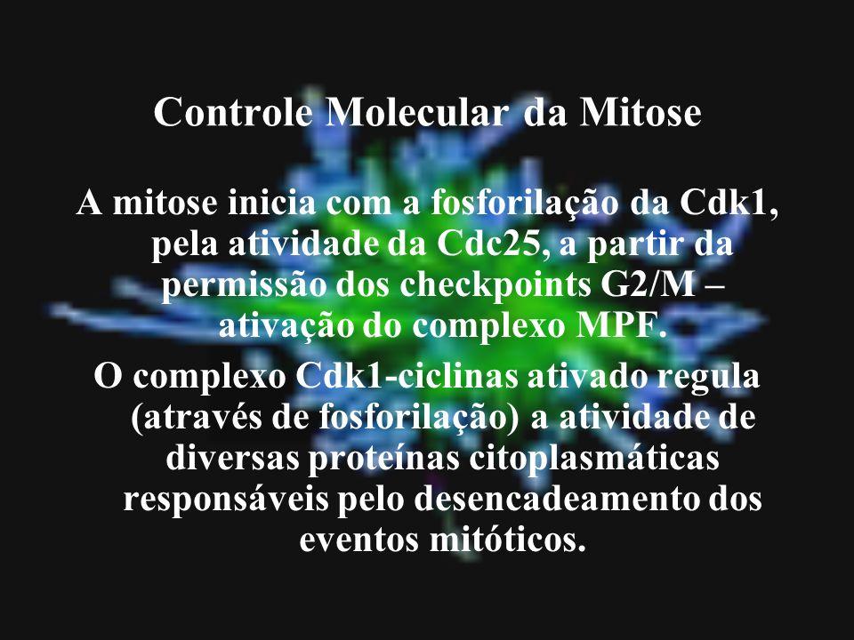 Controle Molecular da Mitose A mitose inicia com a fosforilação da Cdk1, pela atividade da Cdc25, a partir da permissão dos checkpoints G2/M – ativaçã
