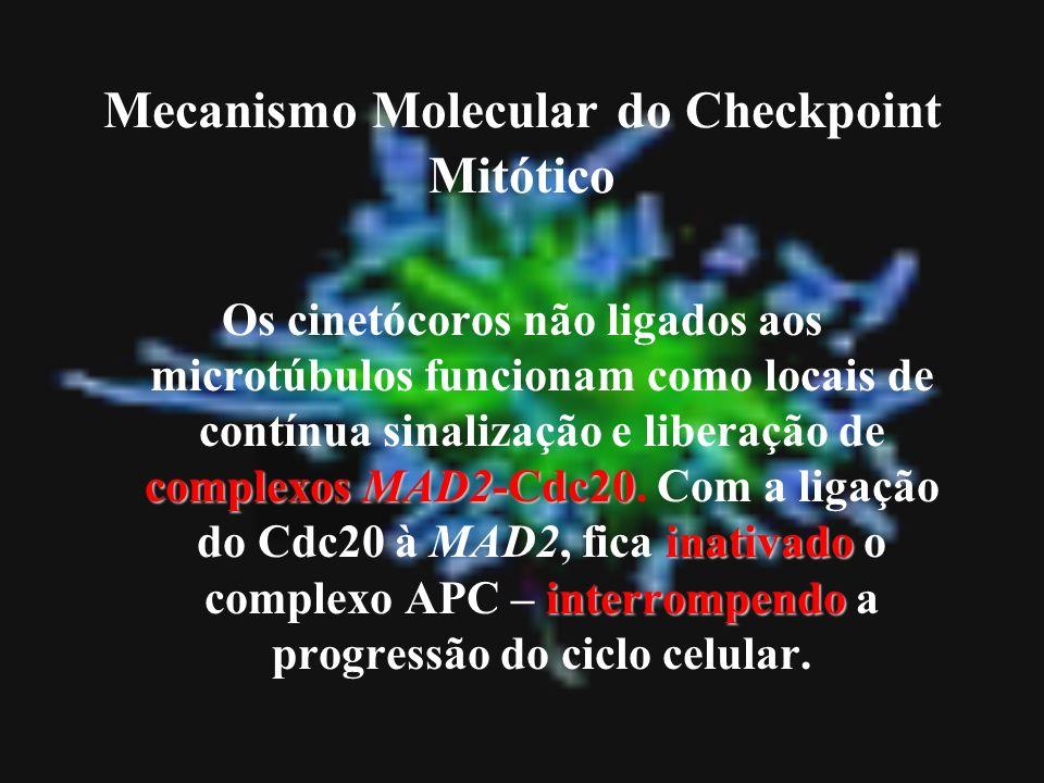 Mecanismo Molecular do Checkpoint Mitótico complexos MAD2-Cdc20 inativado interrompendo Os cinetócoros não ligados aos microtúbulos funcionam como loc
