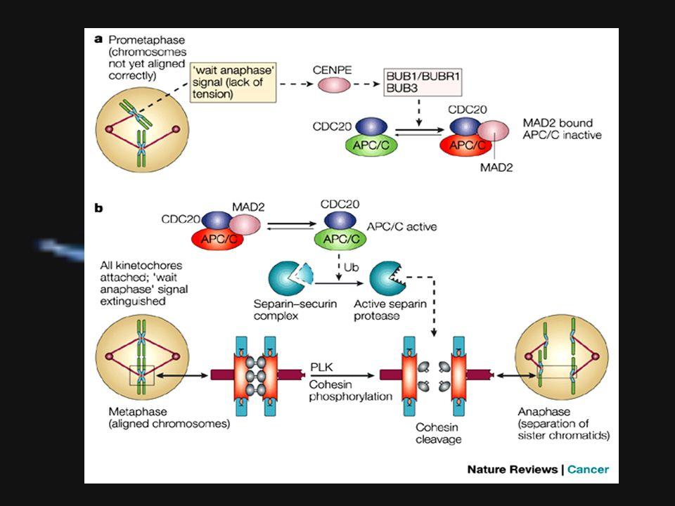 Erros no Ponto de Checagem do fuso segregação cromossômica desigual Erros no ponto de checagem do fuso, por mutações em genes que codificam elementos que participam desse processo, produzem elevadas taxas de eventos de segregação cromossômica desigual, formando células portadoras de um conjunto cromossômico alterado 4.