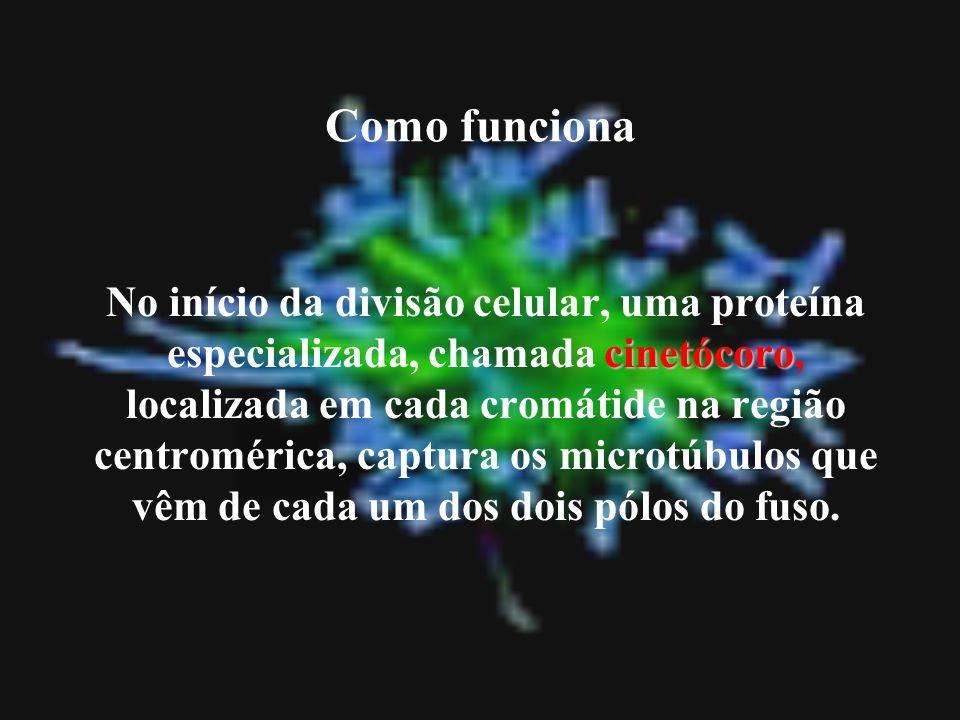 Como funciona cinetócoro No início da divisão celular, uma proteína especializada, chamada cinetócoro, localizada em cada cromátide na região centromé