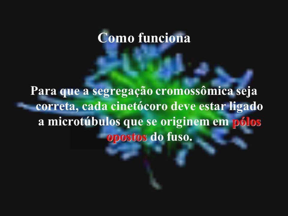 pólos opostos Para que a segregação cromossômica seja correta, cada cinetócoro deve estar ligado a microtúbulos que se originem em pólos opostos do fu