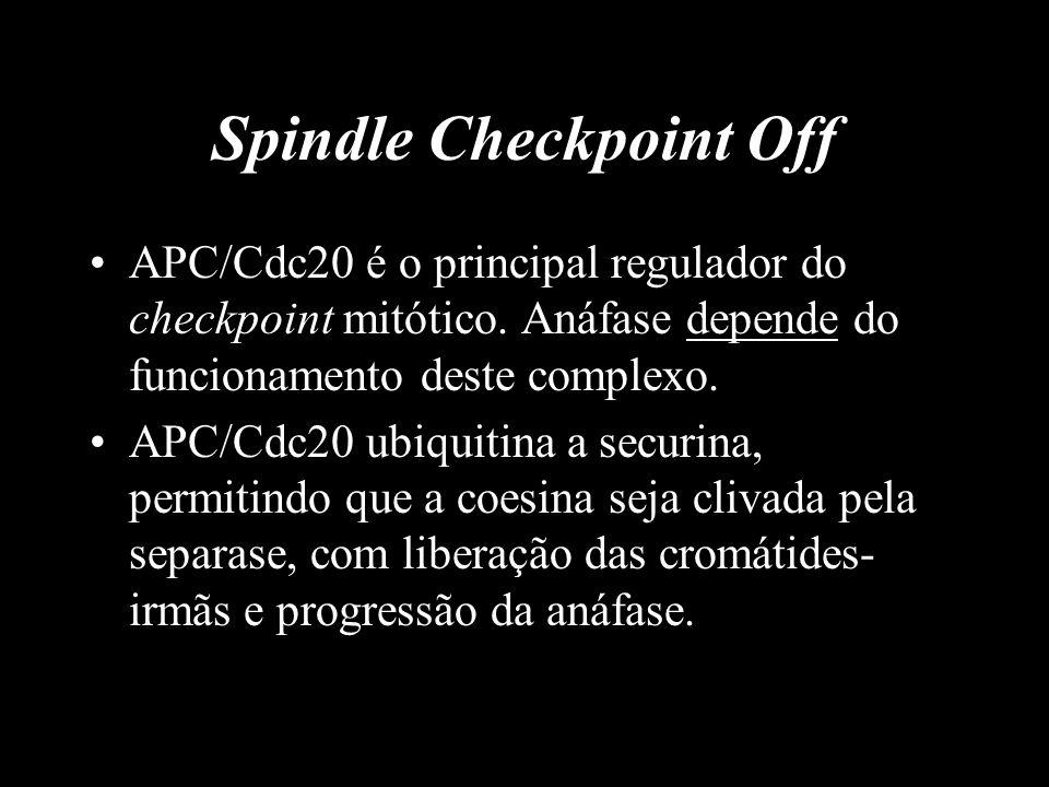 Spindle Checkpoint Off APC/Cdc20 é o principal regulador do checkpoint mitótico. Anáfase depende do funcionamento deste complexo. APC/Cdc20 ubiquitina