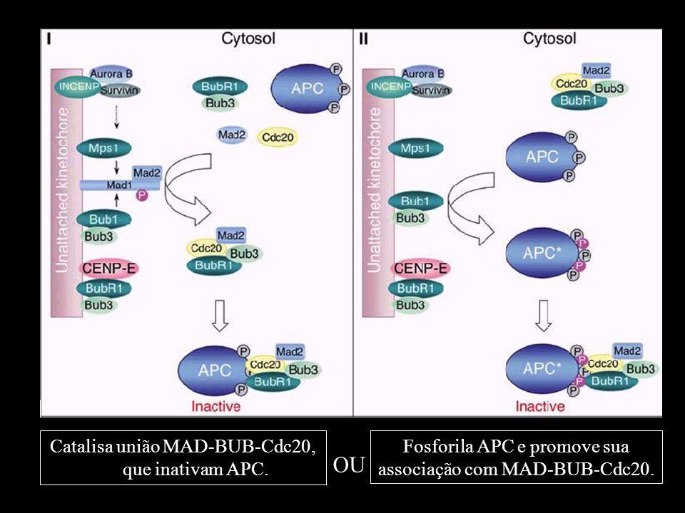 Catalisa união MAD-BUB-Cdc20, que inativam APC. Fosforila APC e promove sua associação com MAD-BUB-Cdc20. OU