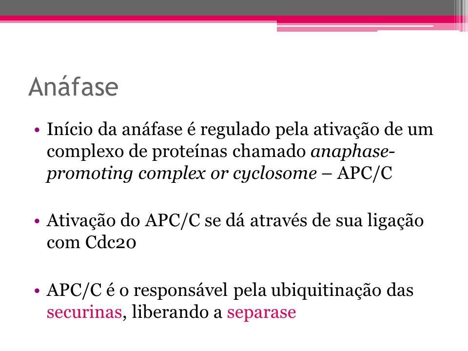 Anáfase Início da anáfase é regulado pela ativação de um complexo de proteínas chamado anaphase- promoting complex or cyclosome – APC/C Ativação do AP