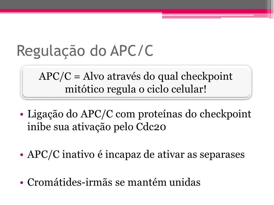 Regulação do APC/C Ligação do APC/C com proteínas do checkpoint inibe sua ativação pelo Cdc20 APC/C inativo é incapaz de ativar as separases Cromátide