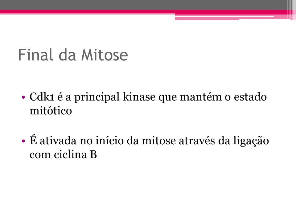 Final da Mitose Cdk1 é a principal kinase que mantém o estado mitótico É ativada no início da mitose através da ligação com ciclina B