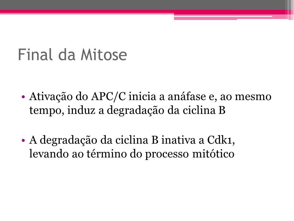 Final da Mitose Ativação do APC/C inicia a anáfase e, ao mesmo tempo, induz a degradação da ciclina B A degradação da ciclina B inativa a Cdk1, levand