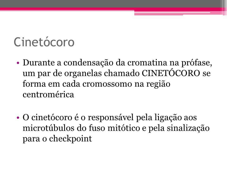 Cinetócoro Durante a condensação da cromatina na prófase, um par de organelas chamado CINETÓCORO se forma em cada cromossomo na região centromérica O