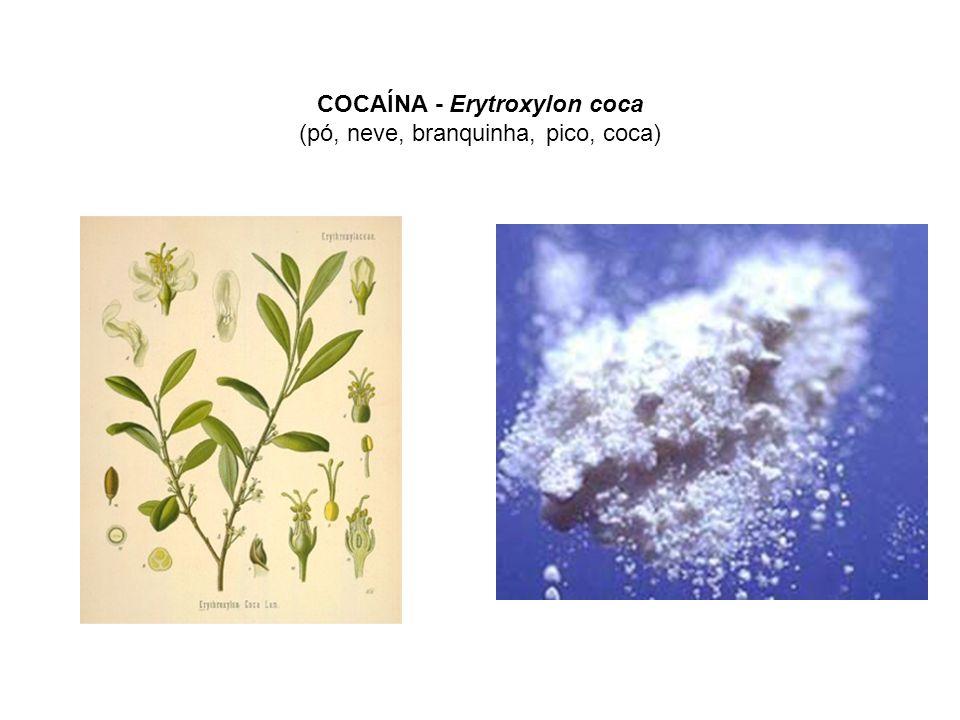 COCAÍNA - Erytroxylon coca (pó, neve, branquinha, pico, coca)
