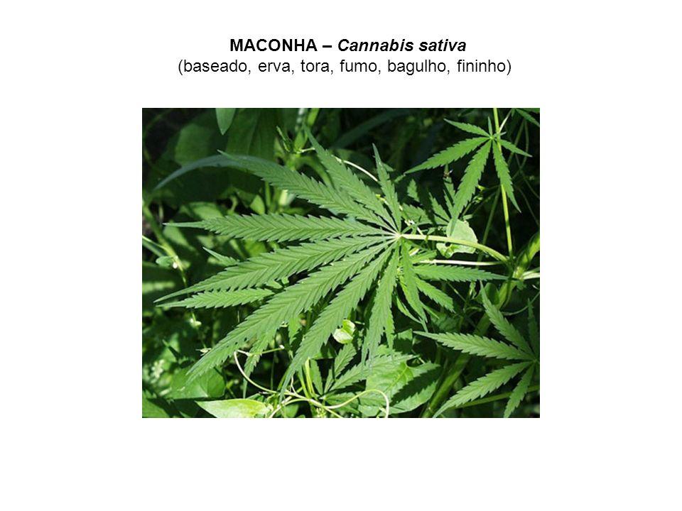 MACONHA – Cannabis sativa (baseado, erva, tora, fumo, bagulho, fininho)