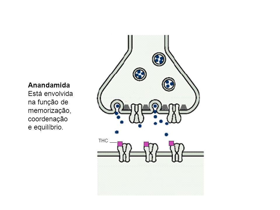 THC Anandamida Está envolvida na função de memorização, coordenação e equilíbrio.