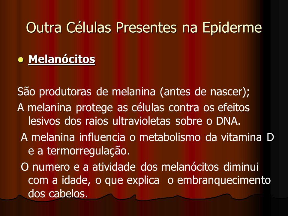 Outra Células Presentes na Epiderme Melanócitos Melanócitos São produtoras de melanina (antes de nascer); A melanina protege as células contra os efei
