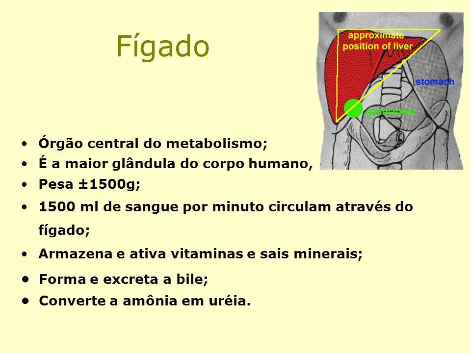 Fígado Órgão central do metabolismo; É a maior glândula do corpo humano, Pesa ±1500g; 1500 ml de sangue por minuto circulam através do fígado; Armazen