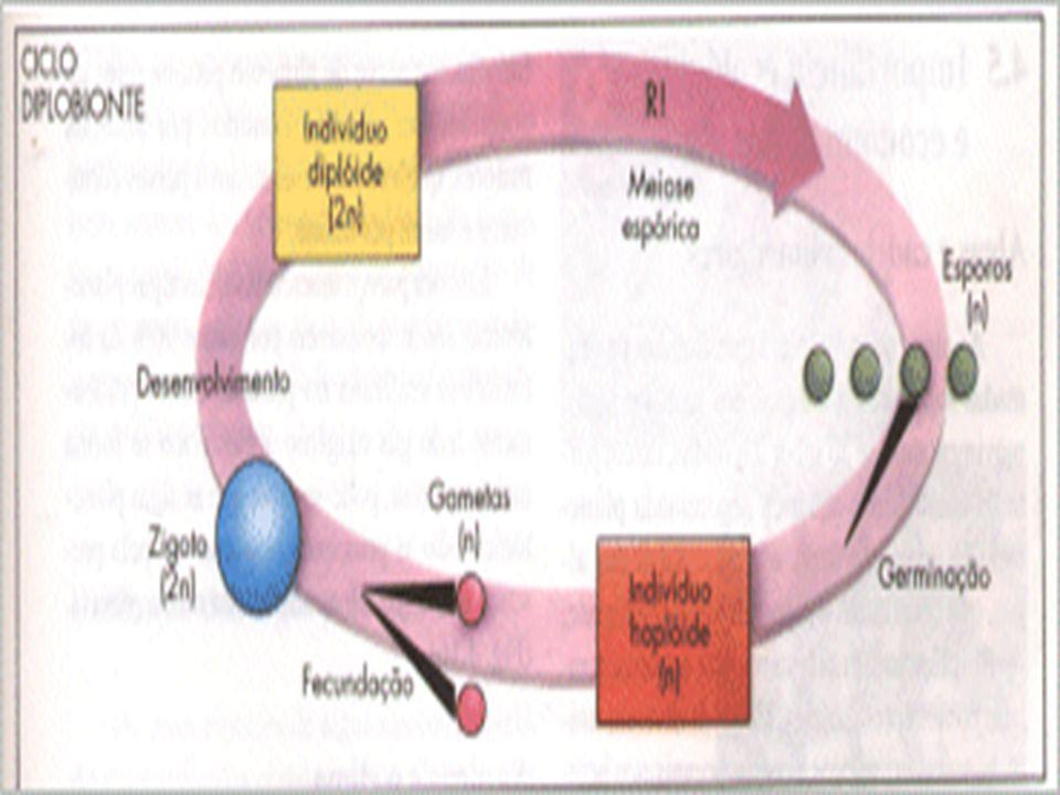 CICLO DIPLOBIONTE EXISTÊNCIA DE INDIVÍDUOS ADULTOS HAPLÓIDES E DIPLÓIDES. VEGETAIS OCORRE MEIOSE INTERMEDIÁRIA OU ESPÓRICA