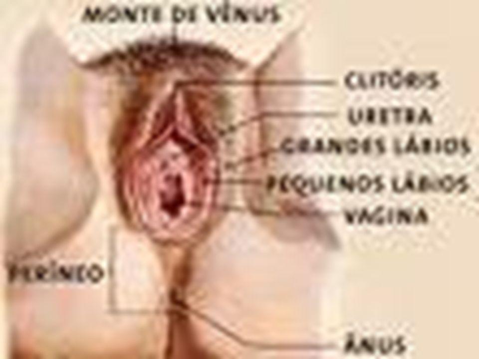 ESTRUTURAS EXTERNAS (PUDENDO FEMININO) ANTIGA VULVA LÁBIOS MAIORES LÁBIOS MENORES CLITÓRIS PÊLOS PUBIANOS VESTÍBULO VAGINAL (ABERTURA)
