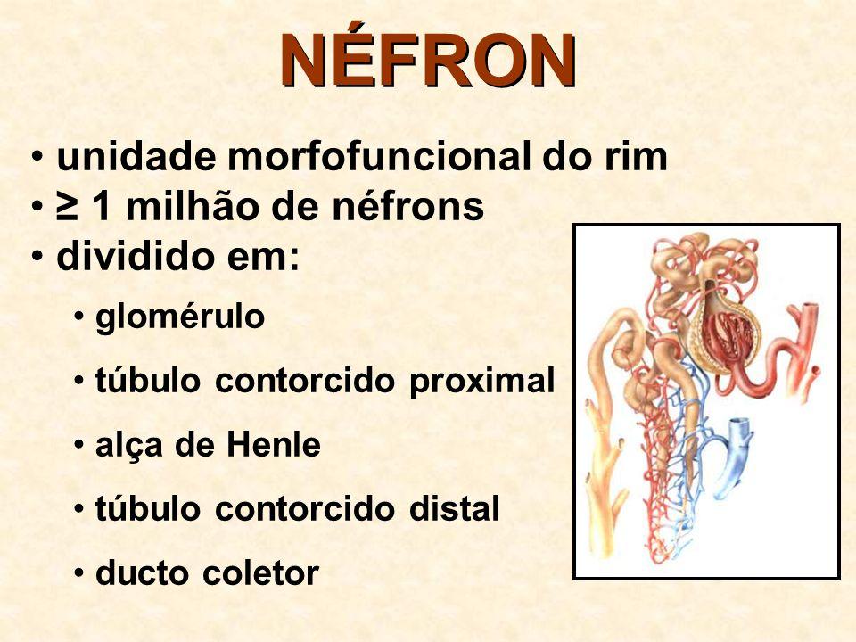 NÉFRON Processos fisiológicos que ocorrem no néfron: 1. filtração 2. reabsorção 3. secreção